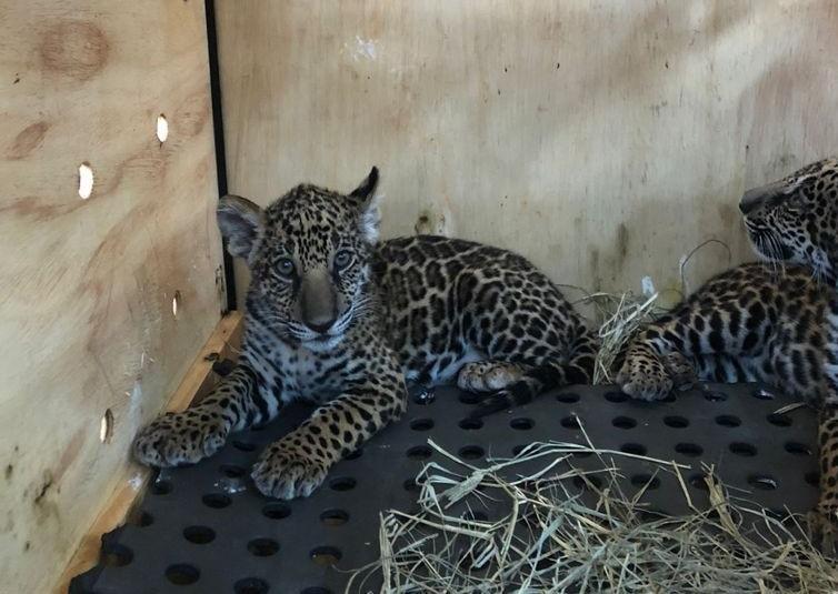 Filhotes de onças-pintadas resgatados pela Sema-MT - Foto por: Assessoria